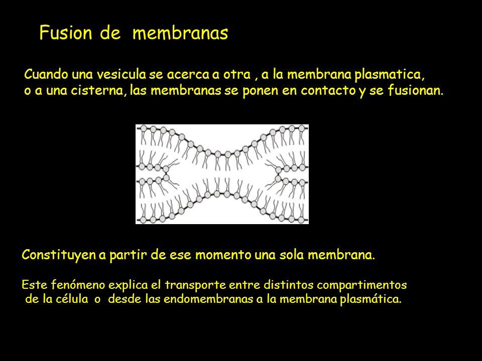 Fusion de membranas : Cuando una vesicula se acerca a otra, a la membrana plasmatica, o a una cisterna, las membranas se ponen en contacto y se fusion