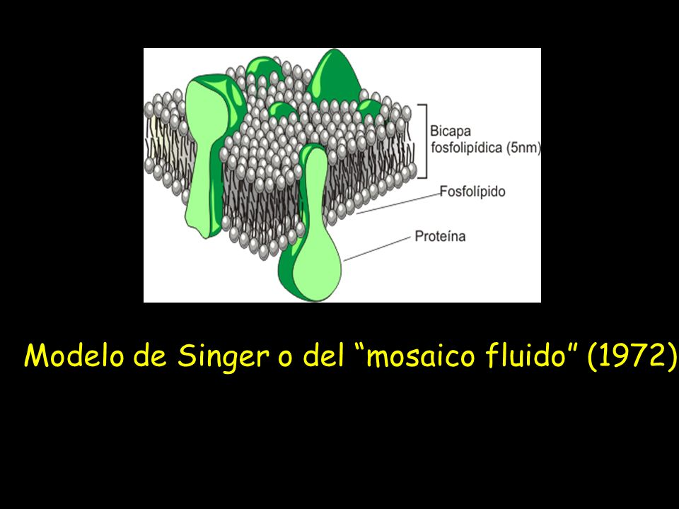 Modelo de Singer o del mosaico fluido (1972)