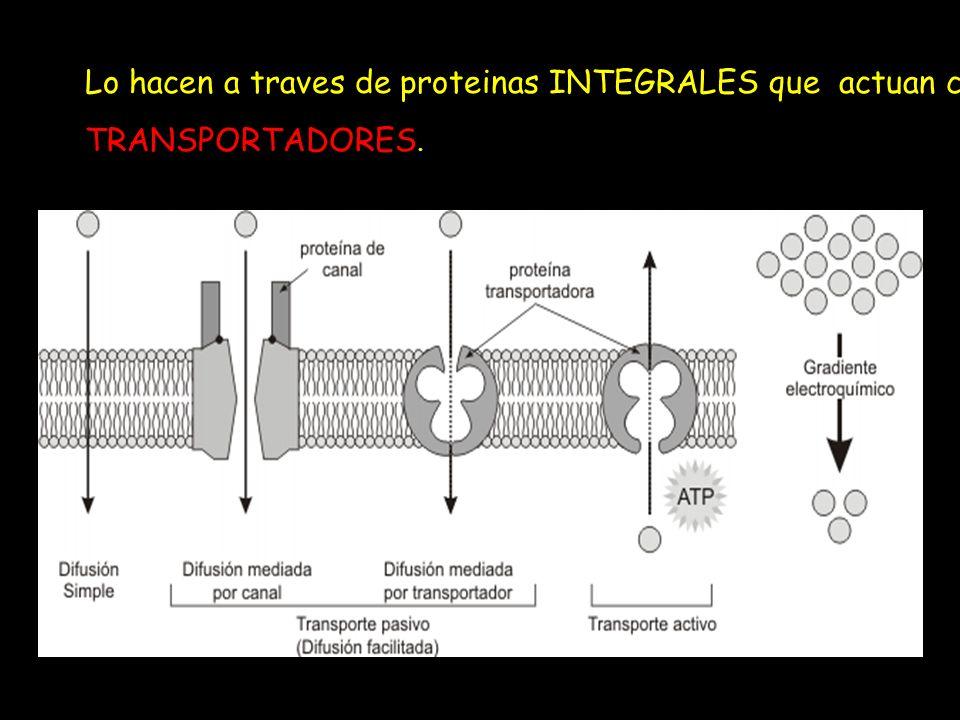 Lo hacen a traves de proteinas INTEGRALES que actuan como TRANSPORTADORES.