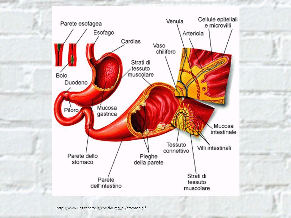 http://www.unsitoperte.it/enciclo/img_cu/stomaco.gif