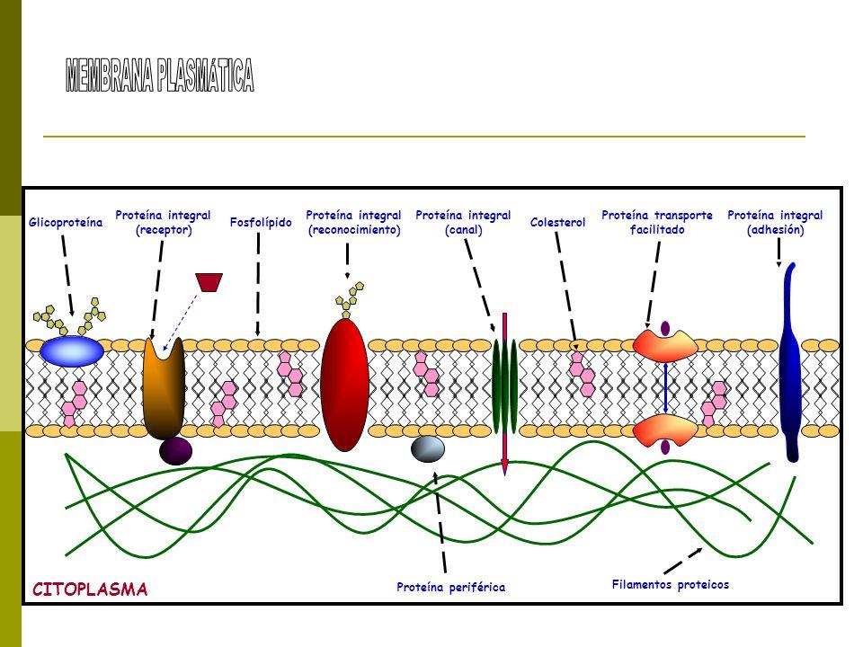 Glicoproteína Proteína periférica Proteína integral (receptor) Proteína integral (reconocimiento) Proteína integral (canal) Proteína integral (adhesió