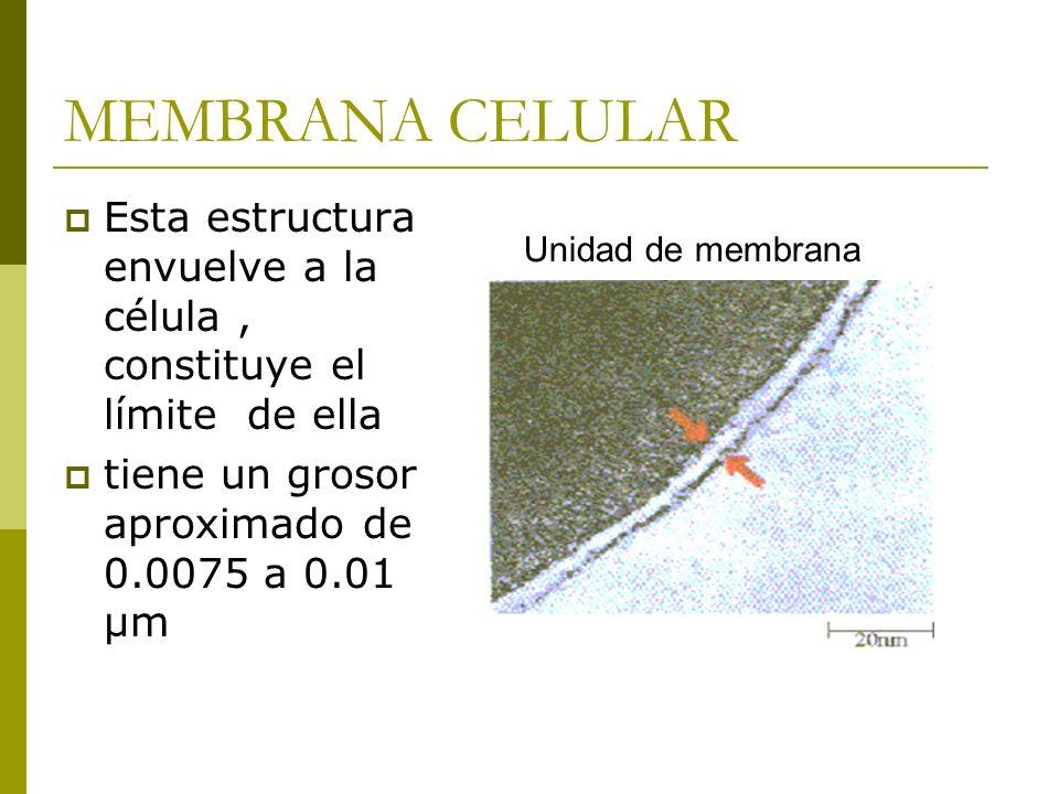 MEMBRANA CELULAR Esta estructura envuelve a la célula, constituye el límite de ella tiene un grosor aproximado de 0.0075 a 0.01 µm Unidad de membrana