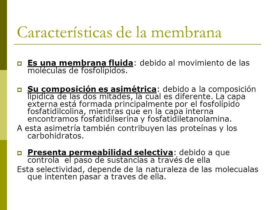 Características de la membrana Es una membrana fluida: debido al movimiento de las moléculas de fosfolípidos. Su composición es asimétrica: debido a l