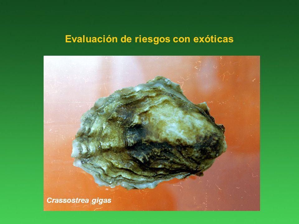 Evaluación de riesgos con exóticas Crassostrea gigas