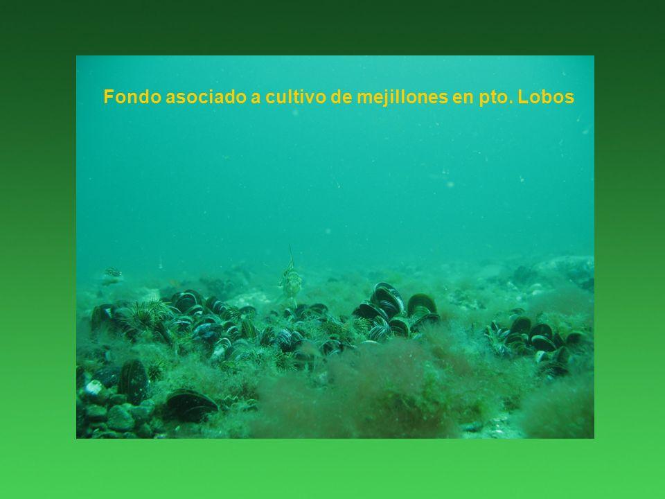 Fondo asociado a cultivo de mejillones en pto. Lobos