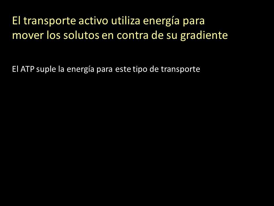 El transporte activo utiliza energía para mover los solutos en contra de su gradiente El ATP suple la energía para este tipo de transporte