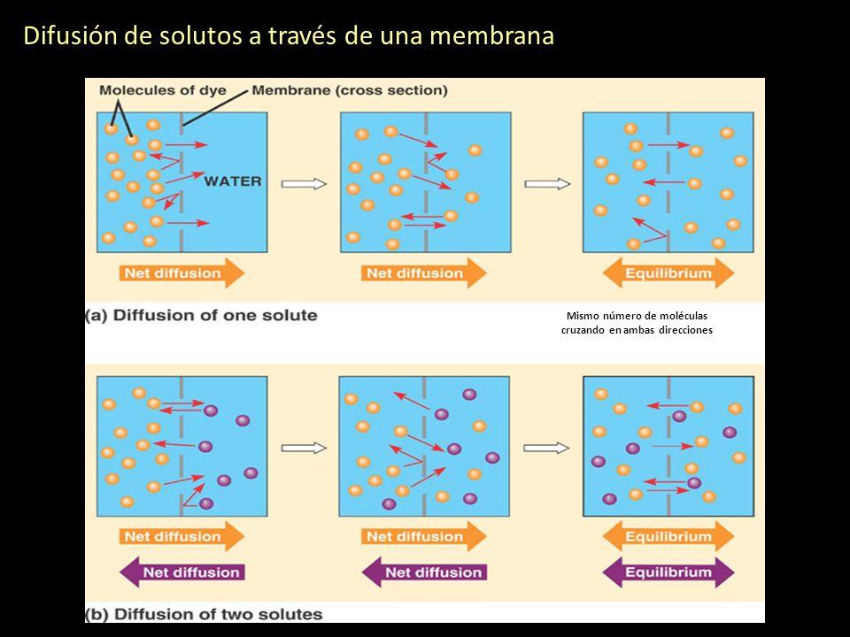 Difusión de solutos a través de una membrana Mismo número de moléculas cruzando en ambas direcciones