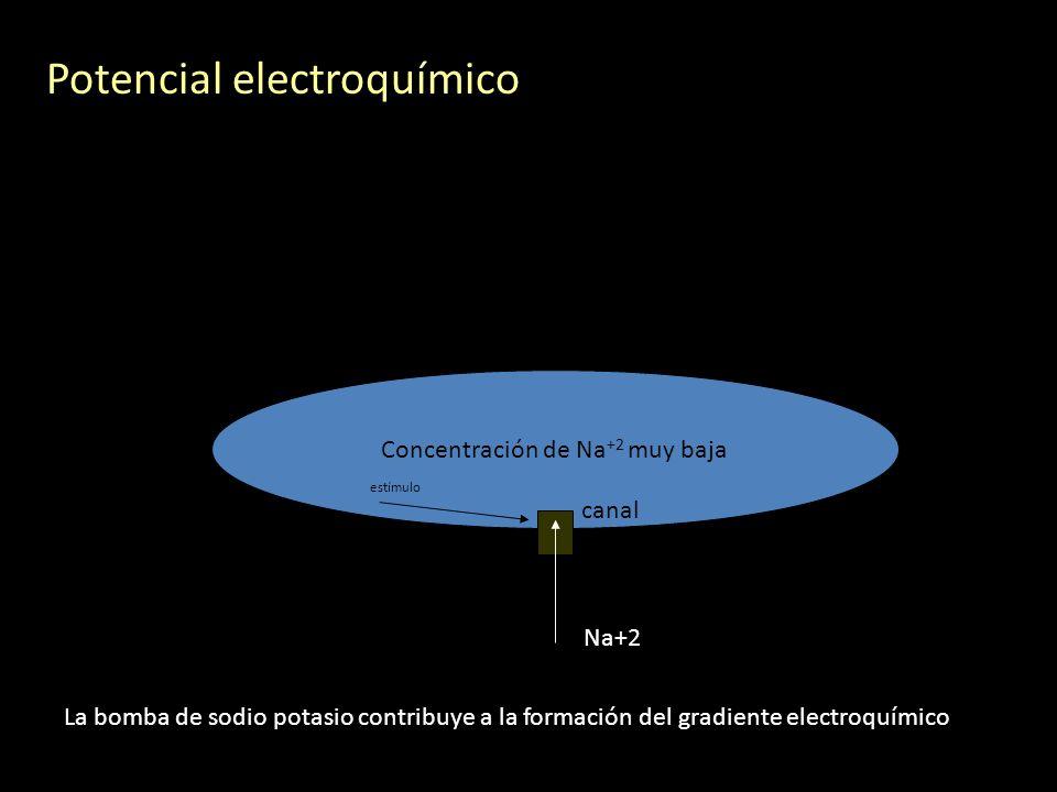 Potencial electroquímico Concentración de Na +2 muy baja canal Na+2 estímulo La bomba de sodio potasio contribuye a la formación del gradiente electro