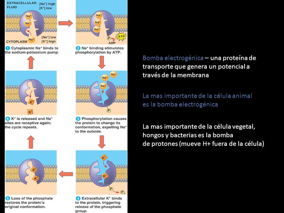Bomba electrogénica – una proteína de transporte que genera un potencial a través de la membrana La mas importante de la célula animal es la bomba ele
