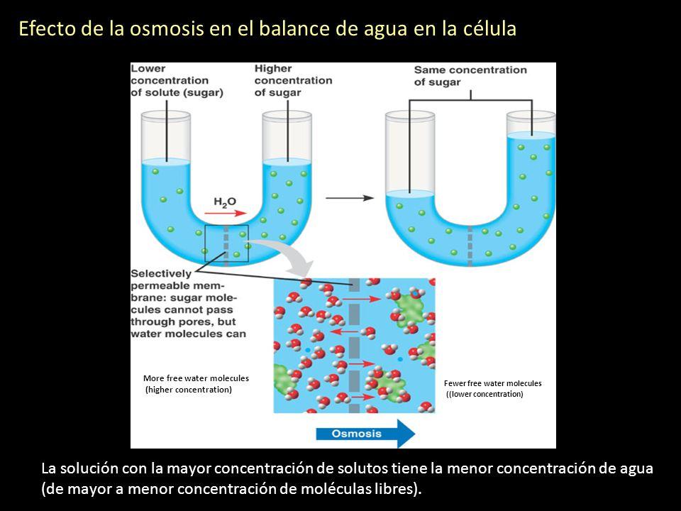 Efecto de la osmosis en el balance de agua en la célula La solución con la mayor concentración de solutos tiene la menor concentración de agua (de may