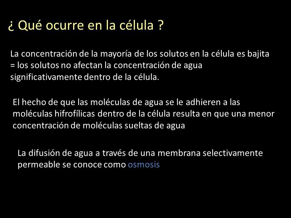 ¿ Qué ocurre en la célula ? La concentración de la mayoría de los solutos en la célula es bajita = los solutos no afectan la concentración de agua sig