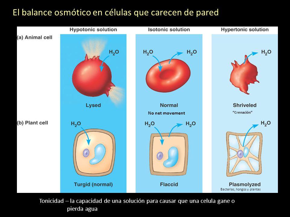 El balance osmótico en células que carecen de pared Tonicidad – la capacidad de una solución para causar que una celula gane o pierda agua No net move