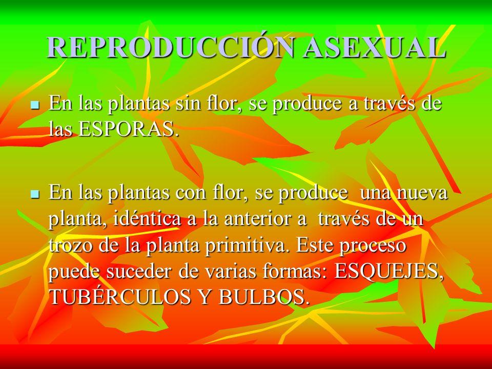 REPRODUCCIÓN ASEXUAL En las plantas sin flor, se produce a través de las ESPORAS.