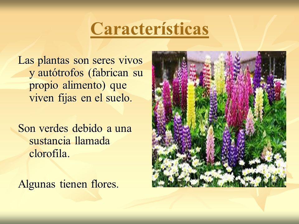 Características Las plantas son seres vivos y autótrofos (fabrican su propio alimento) que viven fijas en el suelo.