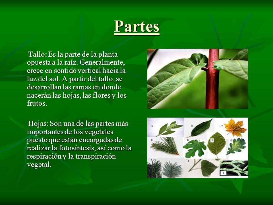 Partes Tallo: Es la parte de la planta opuesta a la raíz.