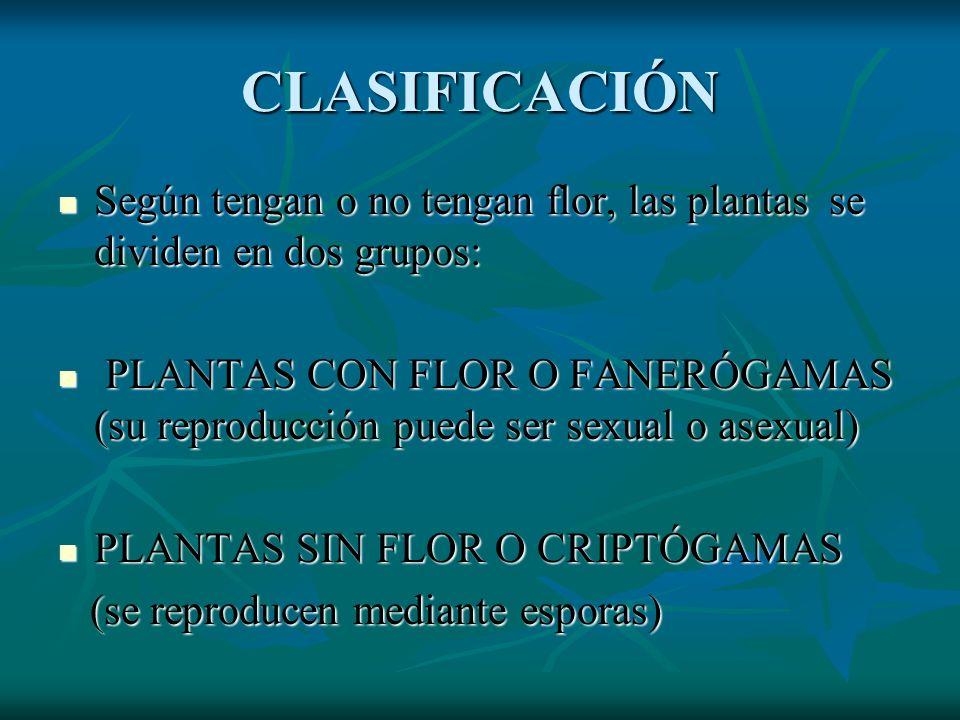 CLASIFICACIÓN Según tengan o no tengan flor, las plantas se dividen en dos grupos: Según tengan o no tengan flor, las plantas se dividen en dos grupos: PLANTAS CON FLOR O FANERÓGAMAS (su reproducción puede ser sexual o asexual) PLANTAS CON FLOR O FANERÓGAMAS (su reproducción puede ser sexual o asexual) PLANTAS SIN FLOR O CRIPTÓGAMAS PLANTAS SIN FLOR O CRIPTÓGAMAS (se reproducen mediante esporas) (se reproducen mediante esporas)