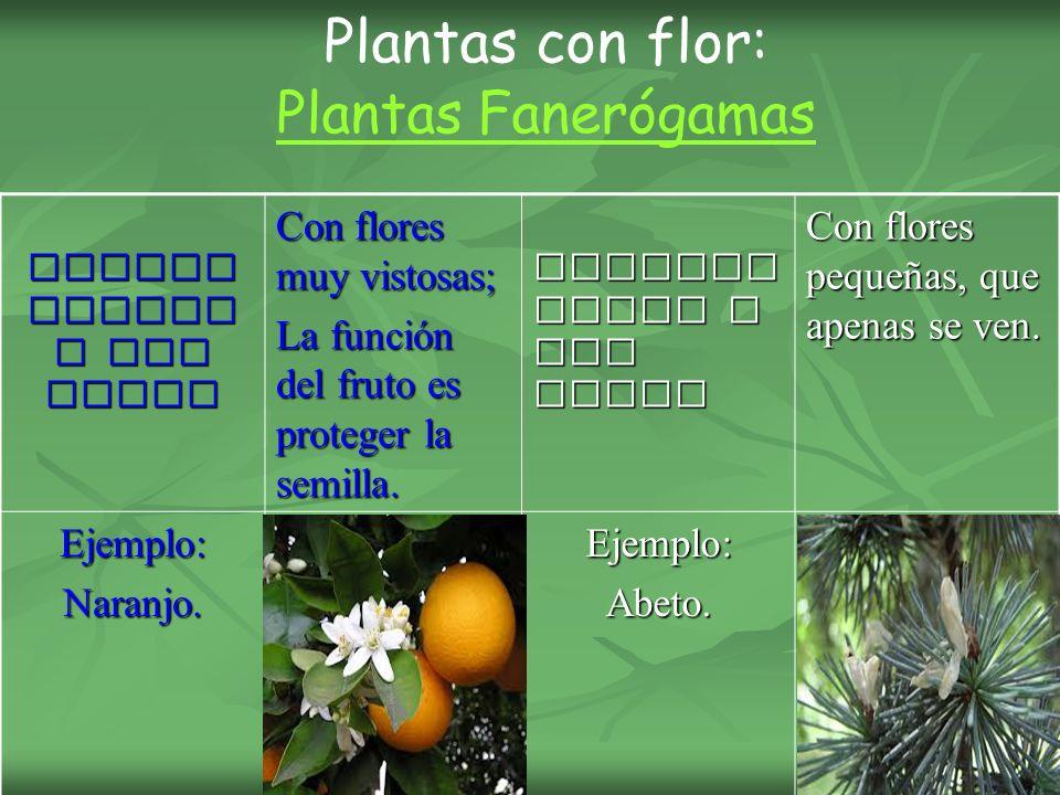 Angios permas o CON fruto Con flores muy vistosas; La función del fruto es proteger la semilla.
