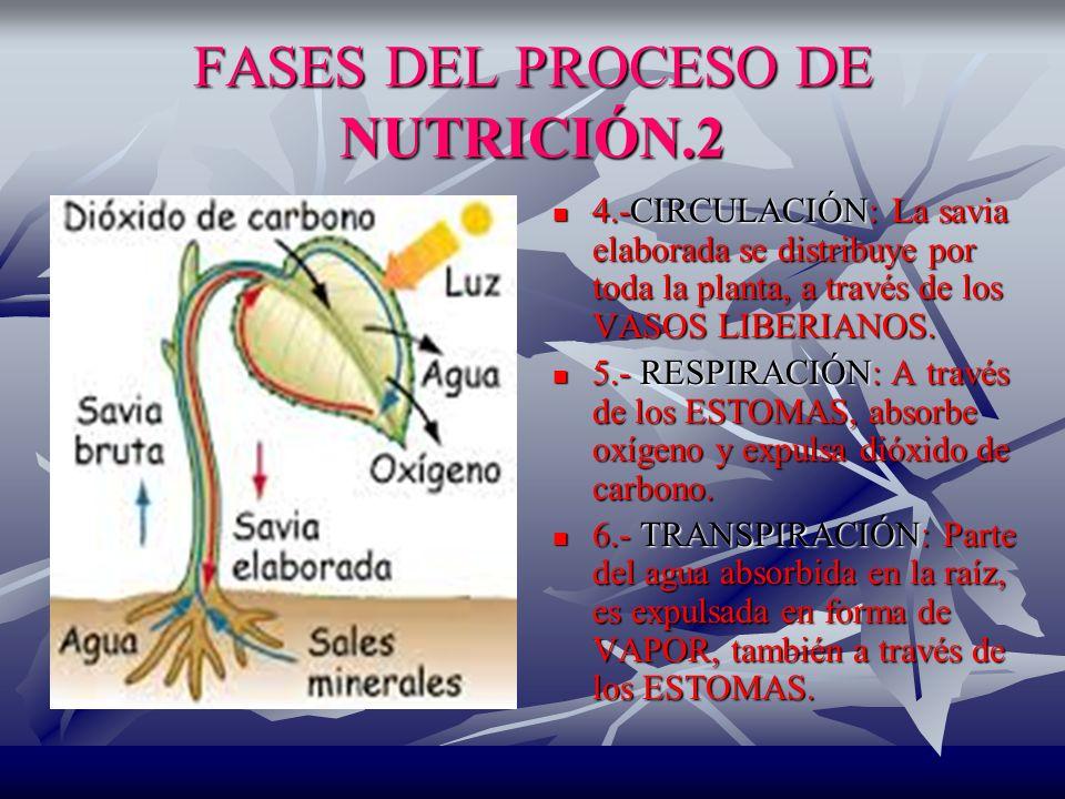 FASES DEL PROCESO DE NUTRICIÓN.2 4.-CIRCULACIÓN: La savia elaborada se distribuye por toda la planta, a través de los VASOS LIBERIANOS.