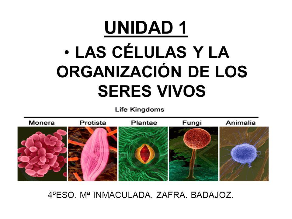 UNIDAD 1 LAS CÉLULAS Y LA ORGANIZACIÓN DE LOS SERES VIVOS 4ºESO. Mª INMACULADA. ZAFRA. BADAJOZ.