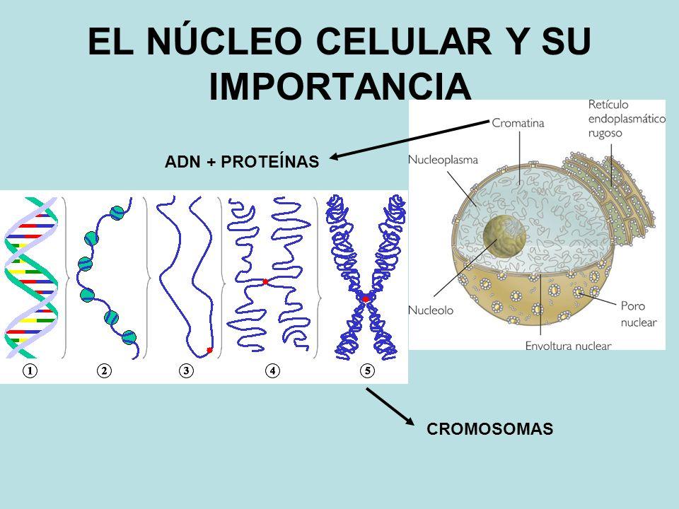 ADN + PROTEÍNAS CROMOSOMAS