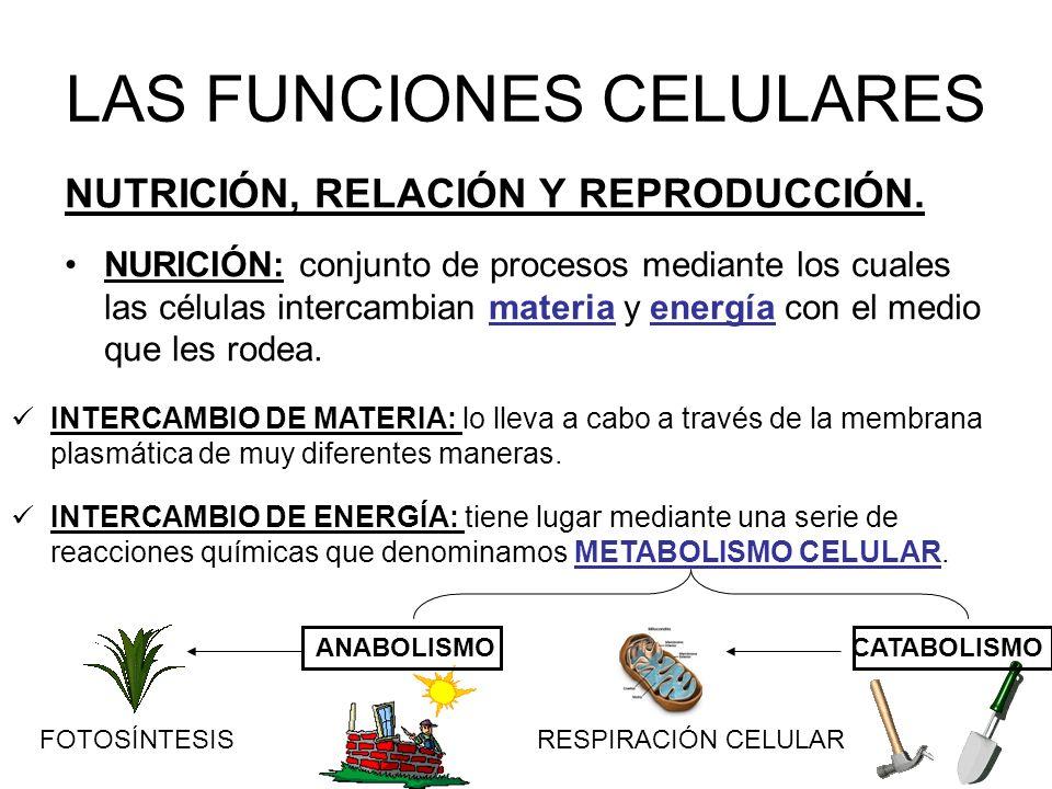LAS FUNCIONES CELULARES NUTRICIÓN, RELACIÓN Y REPRODUCCIÓN.