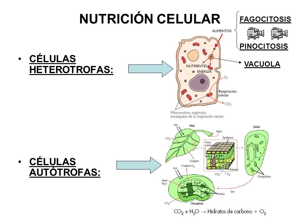 NUTRICIÓN CELULAR CÉLULAS HETEROTROFAS: CÉLULAS AUTÓTROFAS: FAGOCITOSIS PINOCITOSIS VACUOLA