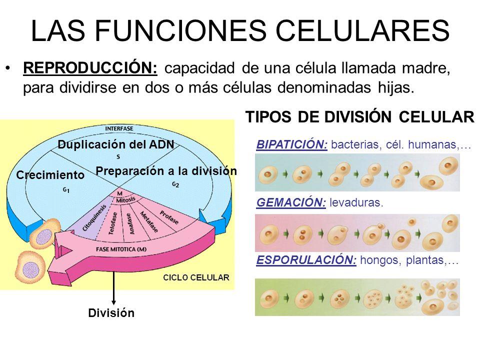 LAS FUNCIONES CELULARES REPRODUCCIÓN: capacidad de una célula llamada madre, para dividirse en dos o más células denominadas hijas.