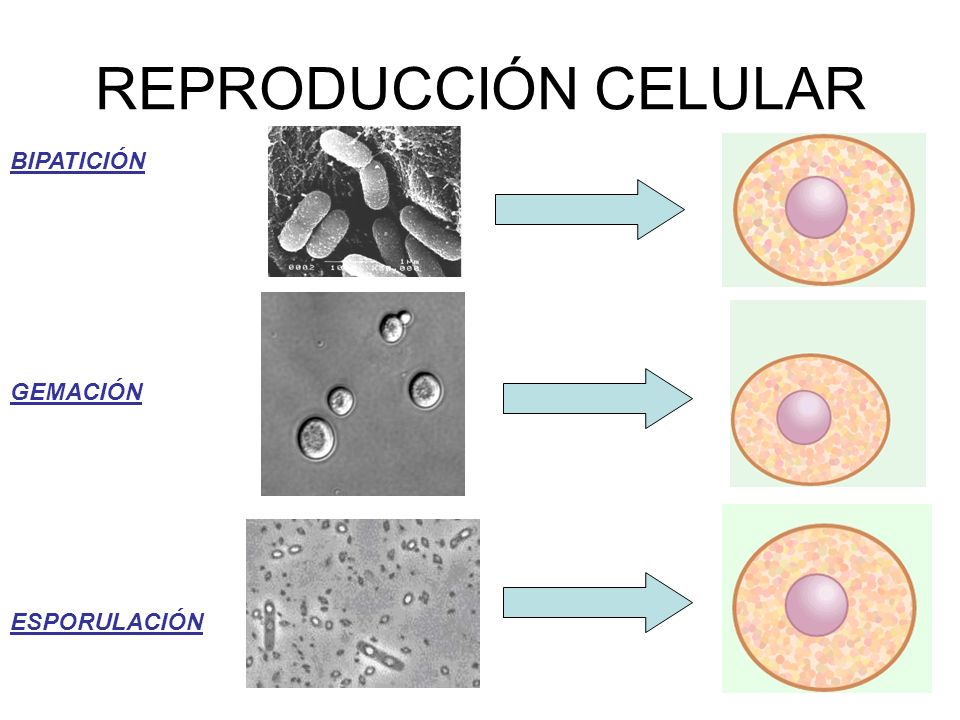 BIPATICIÓN GEMACIÓN ESPORULACIÓN REPRODUCCIÓN CELULAR