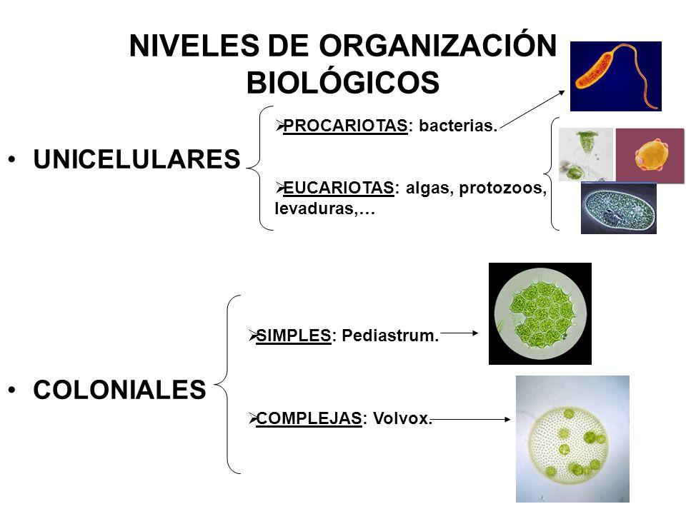 NIVELES DE ORGANIZACIÓN BIOLÓGICOS UNICELULARES COLONIALES PROCARIOTAS: bacterias.