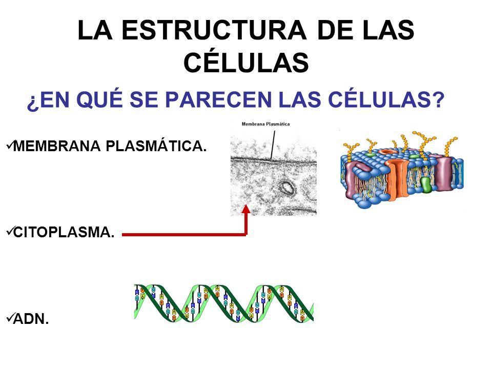 LA ESTRUCTURA DE LAS CÉLULAS ¿EN QUÉ SE PARECEN LAS CÉLULAS? MEMBRANA PLASMÁTICA. CITOPLASMA. ADN.