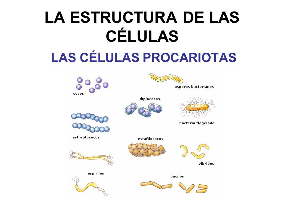 LA ESTRUCTURA DE LAS CÉLULAS LAS CÉLULAS PROCARIOTAS