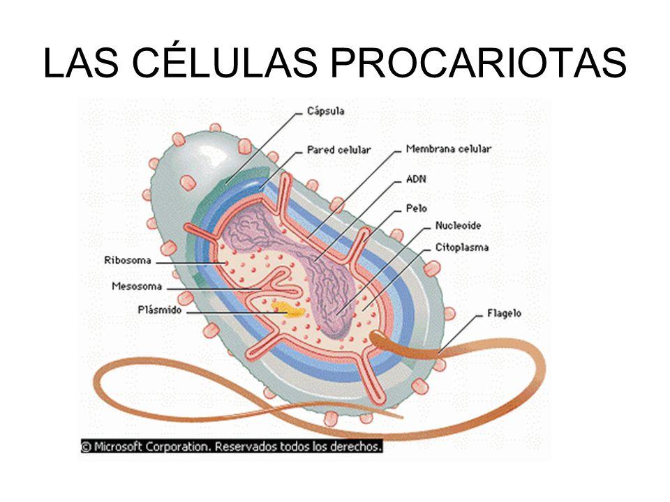 sangre Cancer de pulmón higadolevadura LAS CÉLULAS EUCARIOTA