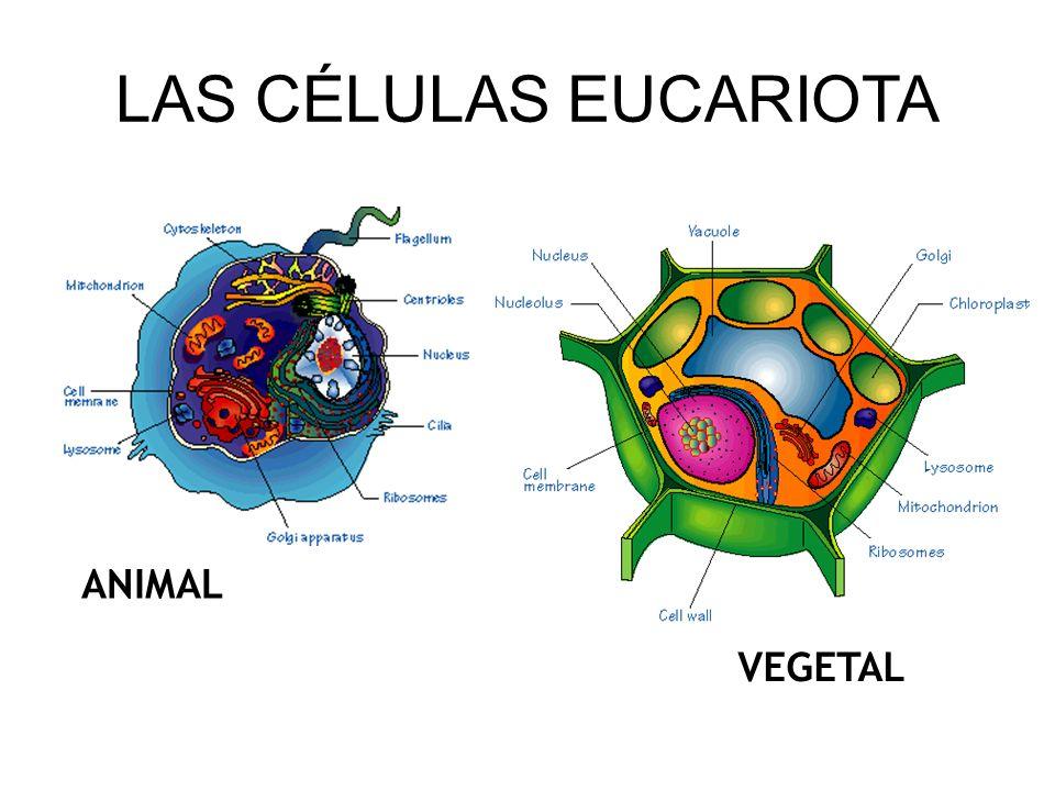 ANIMAL VEGETAL LAS CÉLULAS EUCARIOTA