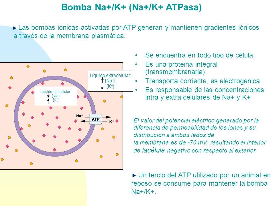 Bomba Na+/K+ (Na+/K+ ATPasa) Líquido extracelular: [Na + ] [K + ] Líquido intracelular: [Na + ] [K + ] Las bombas iónicas activadas por ATP generan y