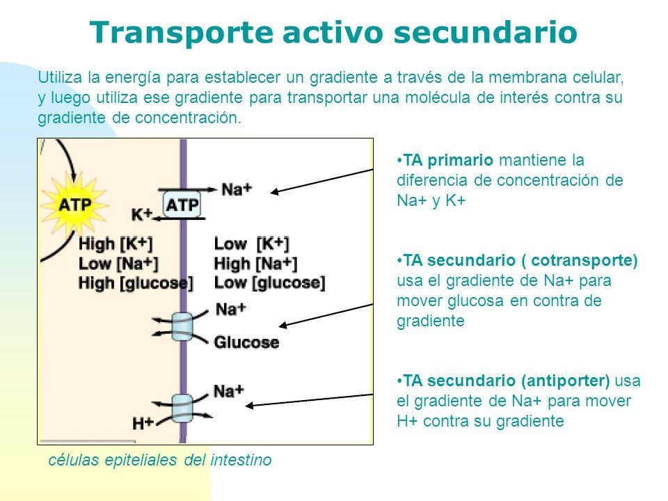 Transporte activo secundario Utiliza la energía para establecer un gradiente a través de la membrana celular, y luego utiliza ese gradiente para trans
