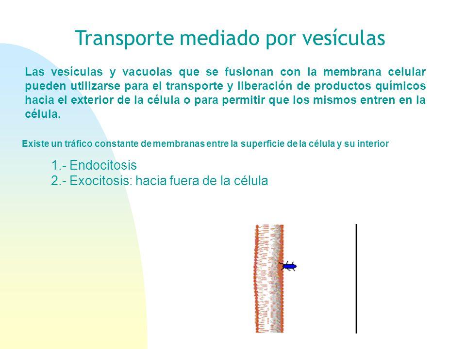 Transporte mediado por vesículas 1.- Endocitosis 2.- Exocitosis: hacia fuera de la célula Las vesículas y vacuolas que se fusionan con la membrana cel