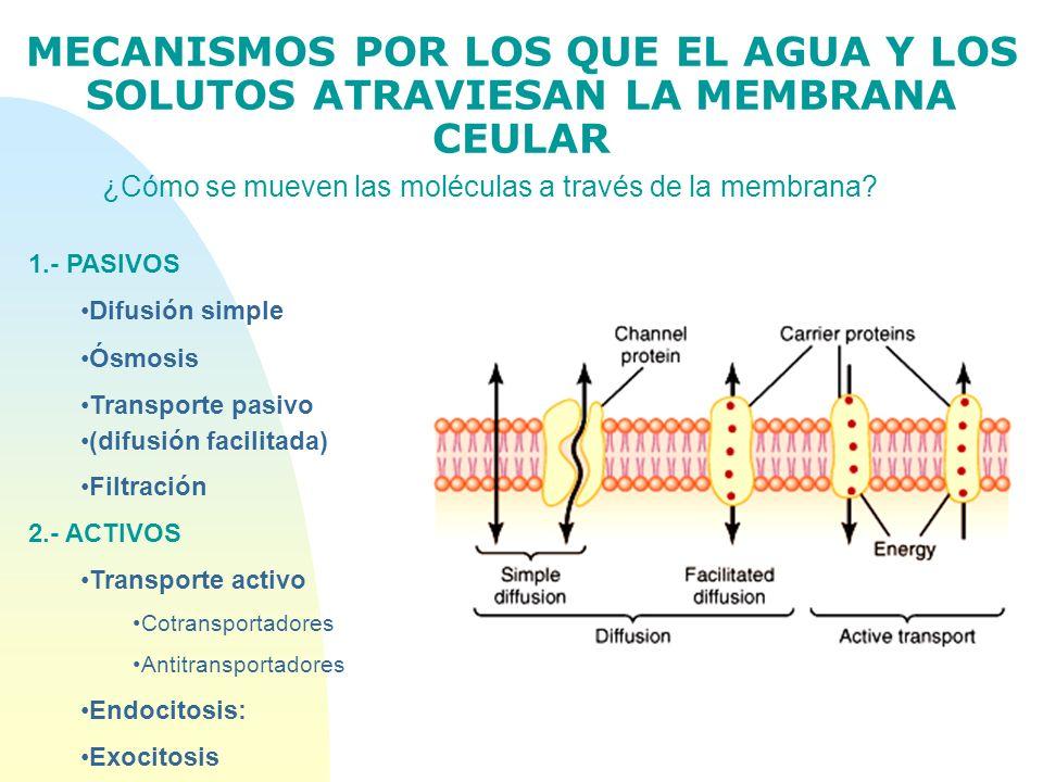 MECANISMOS POR LOS QUE EL AGUA Y LOS SOLUTOS ATRAVIESAN LA MEMBRANA CEULAR ¿Cómo se mueven las moléculas a través de la membrana? 1.- PASIVOS Difusión