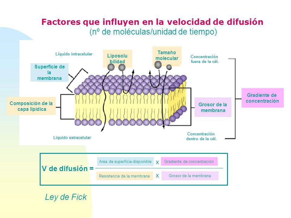 Factores que influyen en la velocidad de difusión (nº de moléculas/unidad de tiempo) Concentración fuera de la cél. Concentración dentro de la cél. Gr