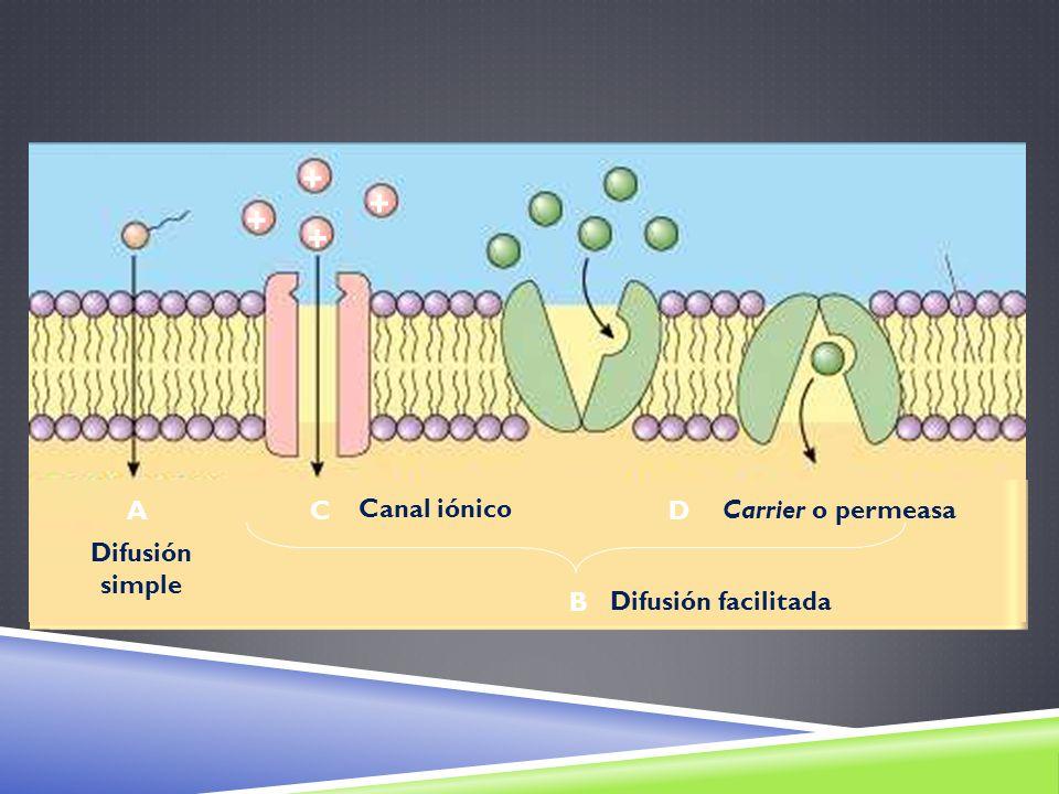 + + + + ACD B Difusión simple Difusión facilitada Canal iónico Carrier o permeasa