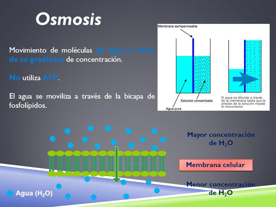 Movimiento de moléculas de agua a favor de su gradiente de concentración. No utiliza ATP. El agua se moviliza a través de la bicapa de fosfolípidos. A