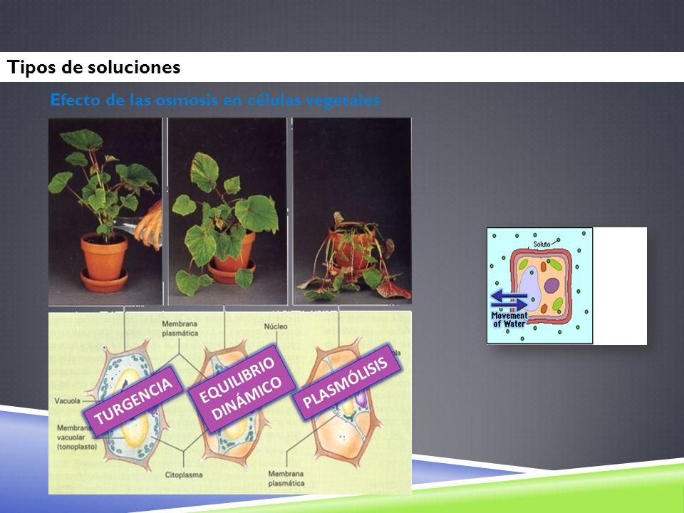 TURGENCIA EQUILIBRIO DINÁMICO PLASMÓLISIS Efecto de las osmosis en células vegetales Tipos de soluciones