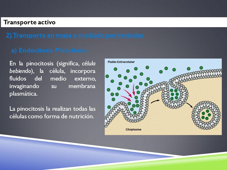 2) Transporte en masa o mediado por vesículas a) Endocitosis: Pinocitosis En la pinocitosis (significa, célula bebiendo), la célula, incorpora fluidos