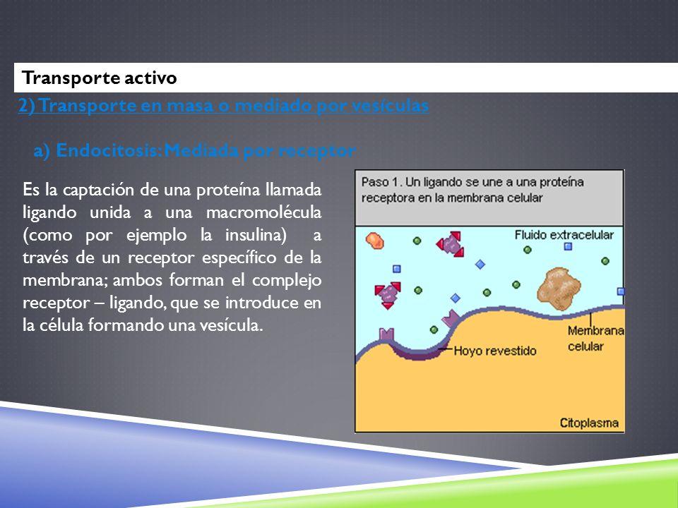2) Transporte en masa o mediado por vesículas a) Endocitosis: Mediada por receptor Es la captación de una proteína llamada ligando unida a una macromo