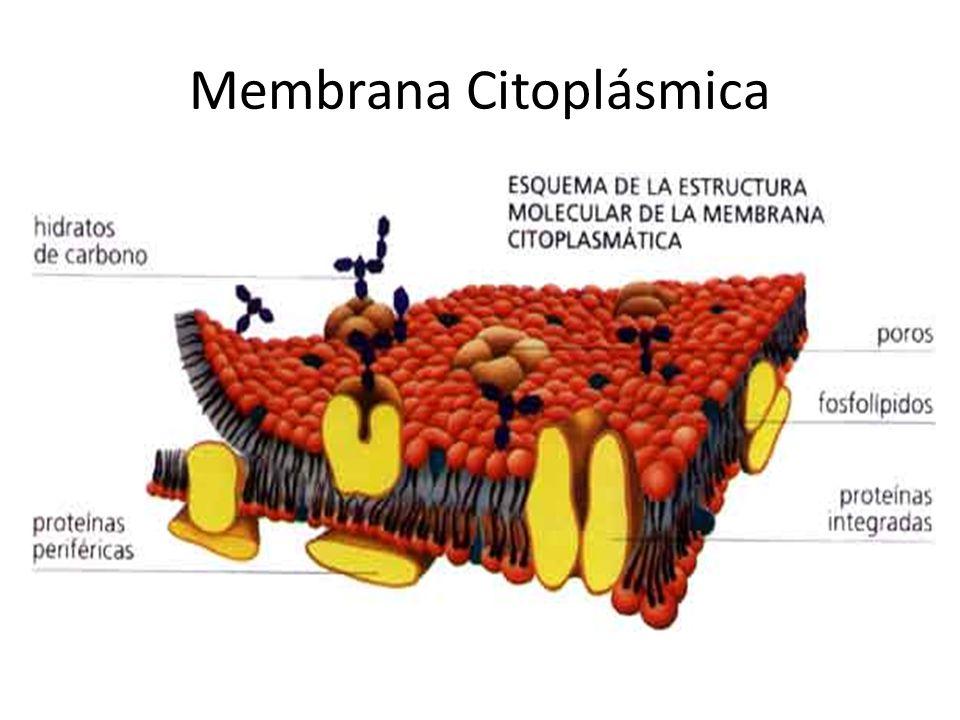 Proteínas Integrales Forman poros que proveen un pasaje selectivo de iones y moléculas grandes que no son capaces de pasar por difusión simple a través de la doble capa de lípidos de las membranas celulares.
