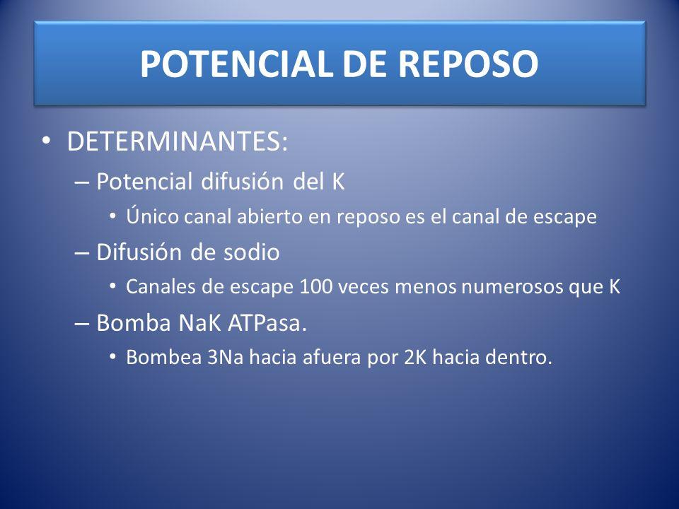 POTENCIAL DE REPOSO DETERMINANTES: – Potencial difusión del K Único canal abierto en reposo es el canal de escape – Difusión de sodio Canales de escap