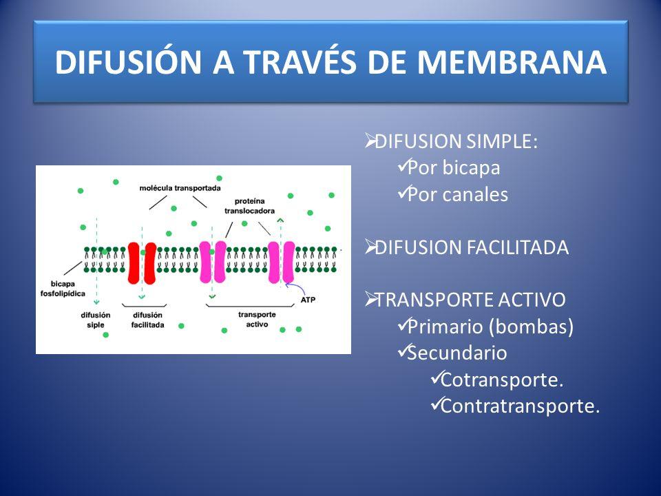 RELACIÓN ENTRE POTENCIAL DE DIFUSIÓN Y DIFERENCIA DE CONCENTRACION ECUACION DE NERNST Relaciona el potencial transmembrana necesario para mantener una diferencia de concentraciones de un ión monovalente a 37°C CONSIDERACIONES: Exterior se considera 0 mV.