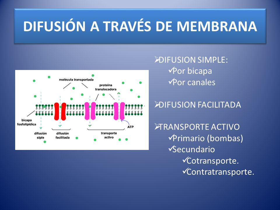 DIFUSIÓN A TRAVÉS DE MEMBRANA DIFUSION SIMPLE: Por bicapa Por canales DIFUSION FACILITADA TRANSPORTE ACTIVO Primario (bombas) Secundario Cotransporte.