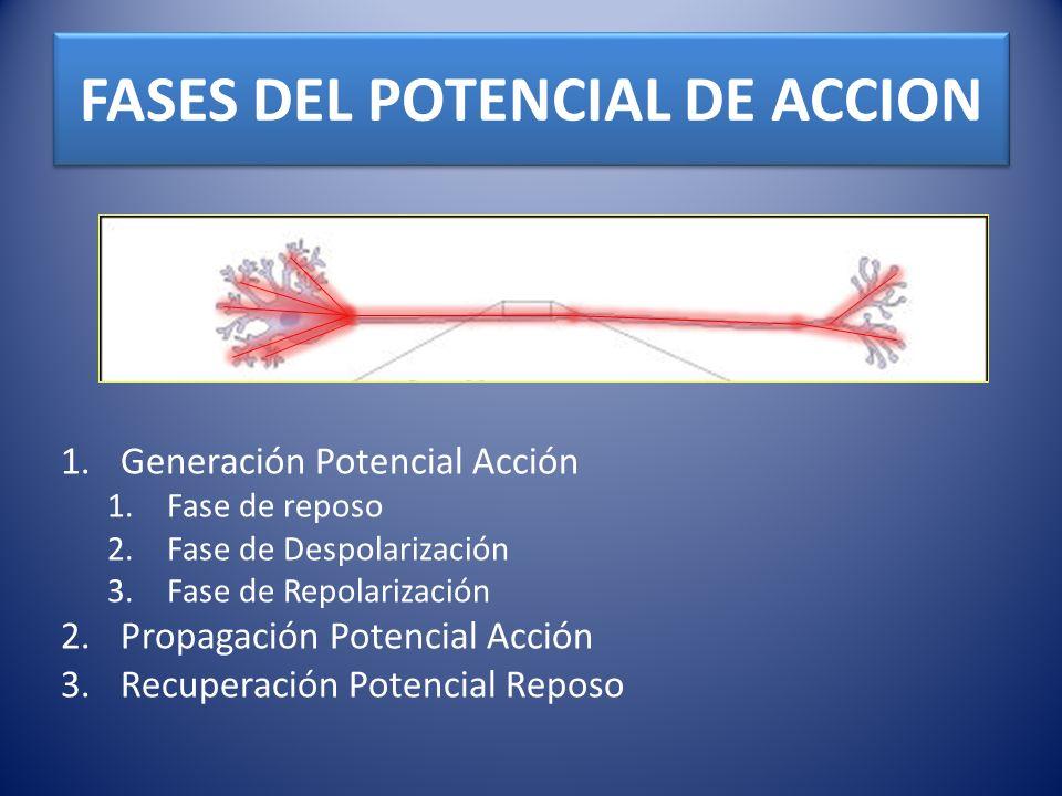 FASES DEL POTENCIAL DE ACCION 1.Generación Potencial Acción 1.Fase de reposo 2.Fase de Despolarización 3.Fase de Repolarización 2.Propagación Potencia