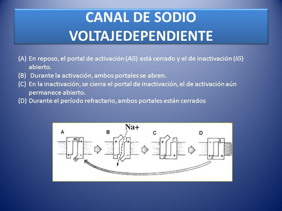 CANAL DE SODIO VOLTAJEDEPENDIENTE (A)En reposo, el portal de activación (AG) está cerrado y el de inactivación (IG) abierto. (B) Durante la activación