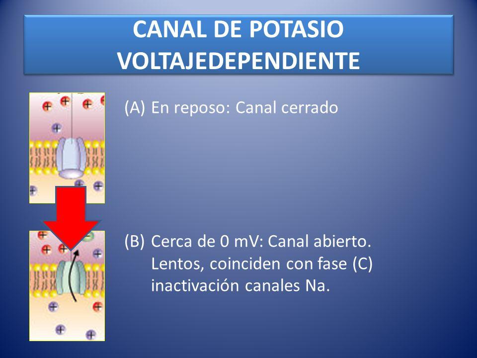 CANAL DE POTASIO VOLTAJEDEPENDIENTE (A)En reposo: Canal cerrado (B)Cerca de 0 mV: Canal abierto. Lentos, coinciden con fase (C) inactivación canales N